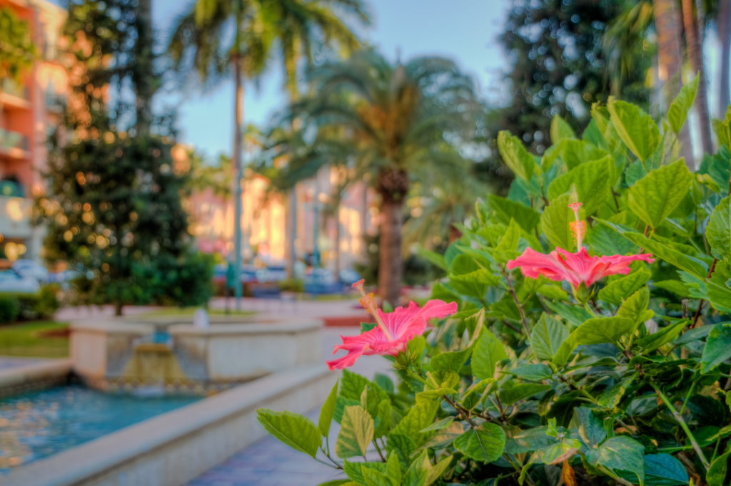 Hibiscus Flower at Mizner Park in Downtown Boca Raton along the shopping center in Palm Beach County, Florida. Three exposure HDR image processed in Photomatix.