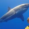 shark corcoran2